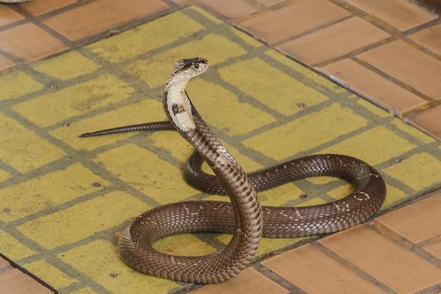 コブラは床の上にあります中型のヘビです1つの深刻な毒があります。
