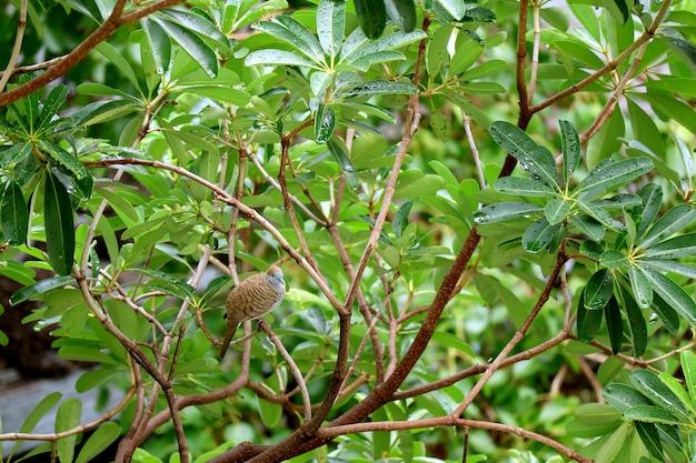 雨の後の大きな木に止まった1つの野生のシマウマ鳩