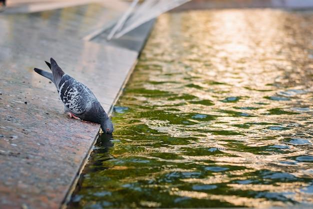 1羽の鳩が噴水から水を飲む