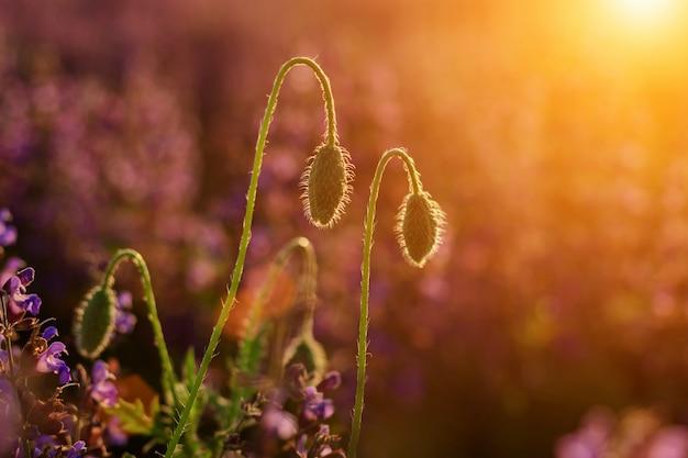 夏の太陽に照らされた柔らかい咲くのクローズアップ1つの赤い野生のケシと原液の芽
