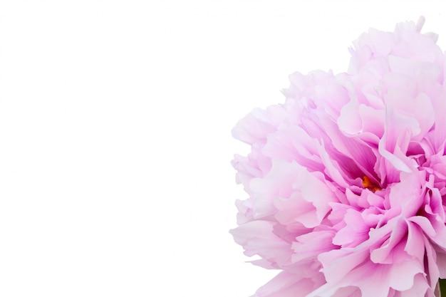 白い背景に分離された1つのピンクの牡丹