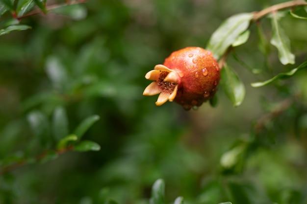 緑の葉と枝にぶら下がっている1つの小さな赤いガーネット。熟したザクロが木に生える