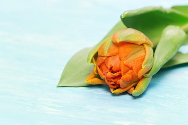 コピースペースで青いコンクリート背景に1つのオレンジ色のチューリップの花のクローズアップ。セレクティブフォーカス。