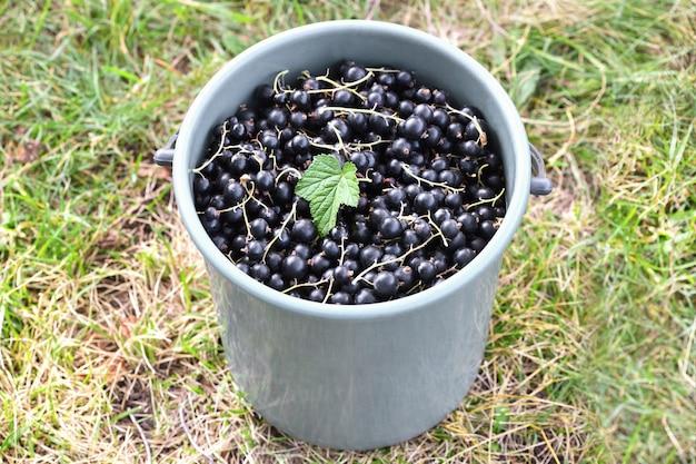 黒スグリ。熟したブラックカラントでいっぱいのバケツが庭の緑の草の上に立ち、その上に緑の葉が1つあります。