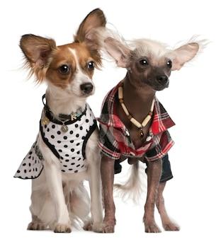 Одетые китайские хохлатые собаки, 2 года и 8 месяцев,