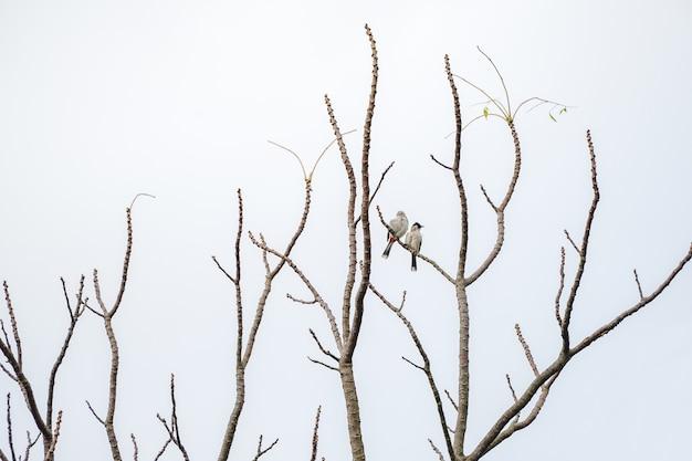 2 птицы держатся за ветку дерева, на которой нет листьев. белый фон.