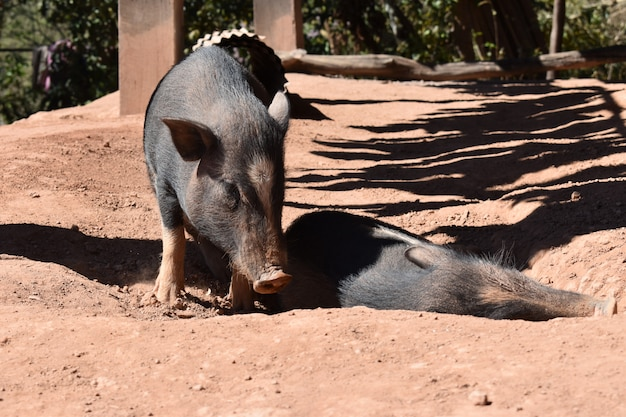 2 boars are live at countryside, pig animal in thailand- image
