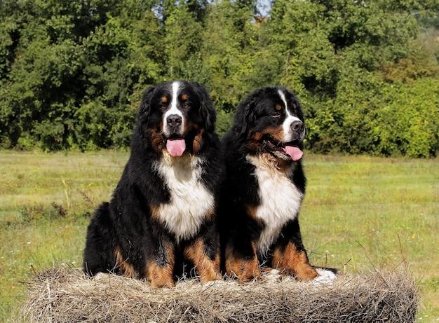 2匹のbouvier bernese山犬。