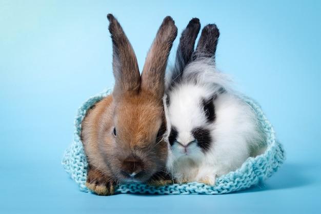 2 милых кролика прячутся в вязаной шапке на голубом фоне. концепция пасхи