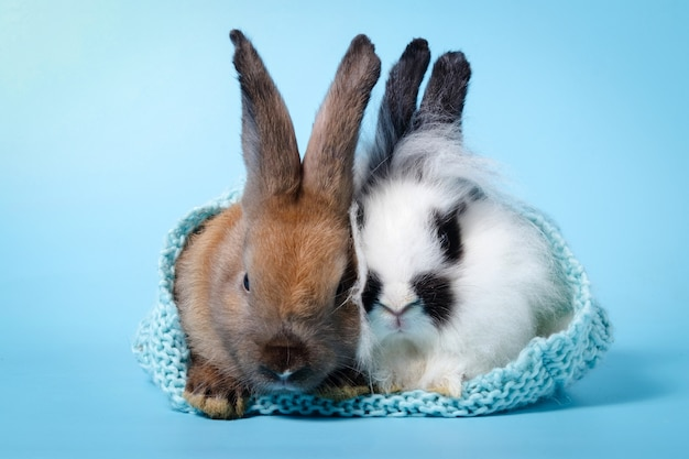 2 cute little rabbits hiding in a knit hat in a light blue background. easter concept