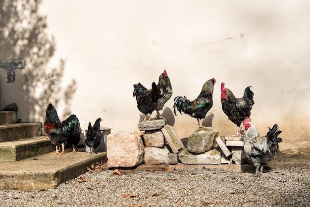 クローズアップのコックダークブラフマの雄鶏は、バックグラウンドで2つのdefocused鶏と道路に立って