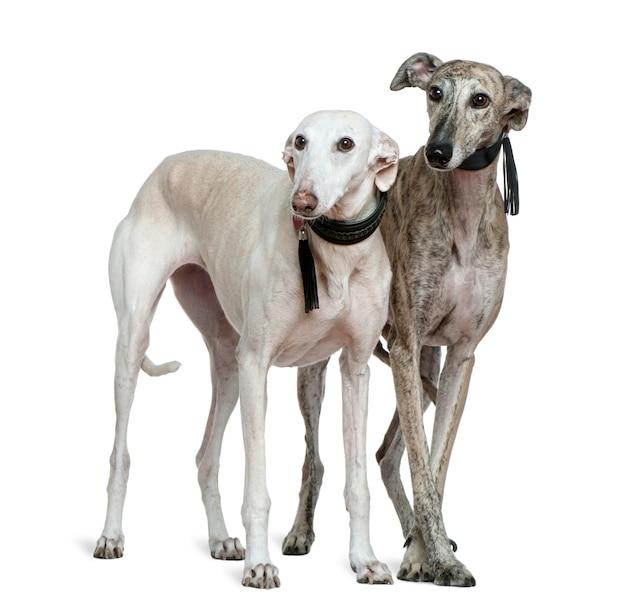 白い壁の前に立っている2匹のgalgo espanol犬、8歳と7歳