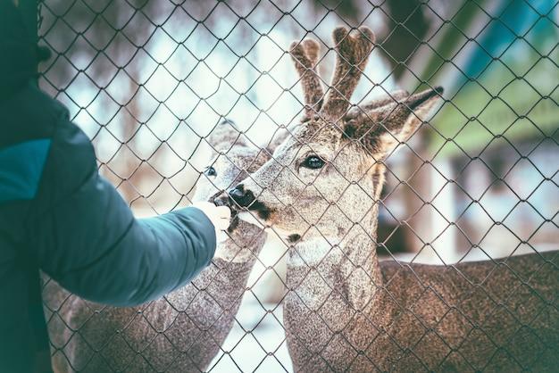 人間の手から食べる2つのliitle赤ちゃん鹿