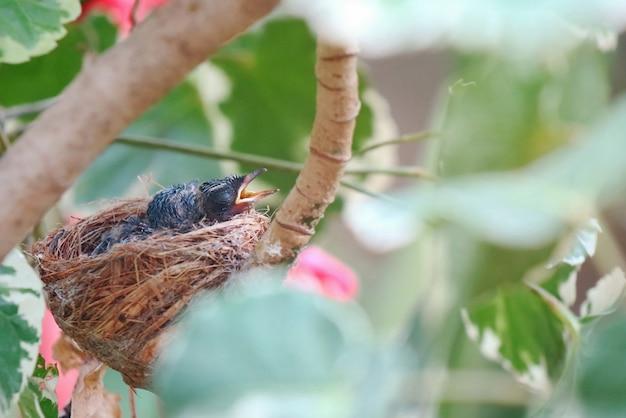 2匹のオリエンタルmagpie-robinが巣の中で赤ちゃんを産み、両親からの食事を待っています。