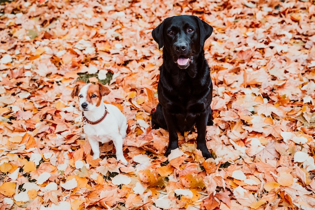 2 красивых собаки сидя outdoors на коричневой предпосылке листьев. черный лабрадор и милый маленький джек рассел