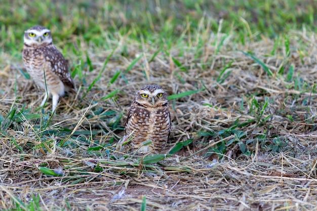 巣の中の2匹のフクロウ