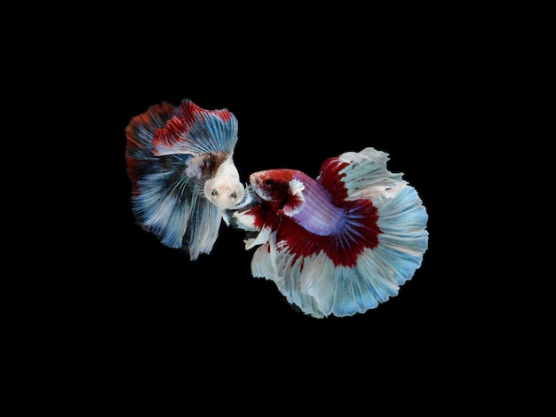 2 red, white and blue siamese fighting fish or betta splendens fancy fish full moon tail on black isolated background, gracefully movement.
