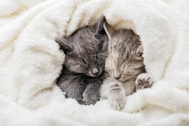 2 sleepy kittens cuddle up sleep comfortably in white blanket. family couple of cats are resting together. two gray and tabby beautiful domestic kitten in love hugging.