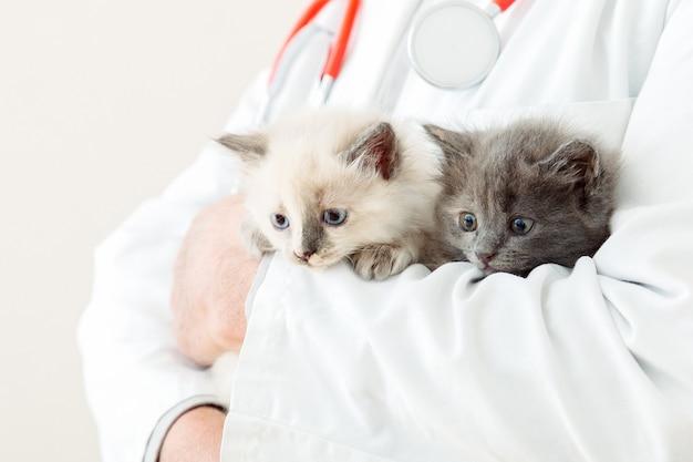 2 двух пушистых серых котенка в руках ветеринара врача в белом халате со стетоскопом. детские белые и серые кошки в ветеринарной клинике. ветеринарные препараты для домашних животных и кошек. портрет котят.