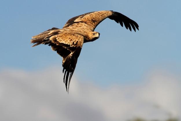 2 years old spanish imperial eagle. aquila adalberti