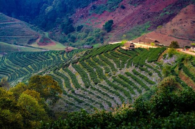 有機農場茶農場2000ドイアンカンチェンマイタイの朝