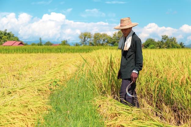 農家は暑い太陽の下で米を収穫しています:2018年10月25日、タイのナン