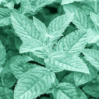 カラートレンド2020年のネオミント。 fフレッシュミントの葉は明るいネオミントグリーンの色調で、クローズアップ。
