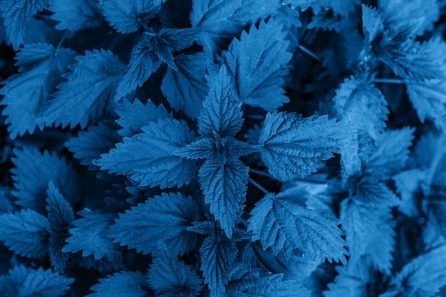 2020年の色-クラシックブルー。地面にたくさんの一般的なイラクサ