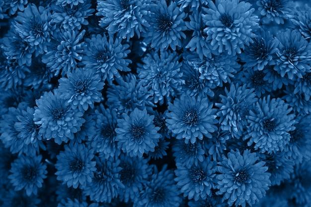 Классический синий цвет 2020 года. цветущие хризантемы осенью в саду, вид сверху. очень красивый цветущий цветочный фон