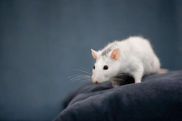 新年のコンセプト。新年の装飾でかわいい白い国内ラット。 2020年のシンボルはネズミです