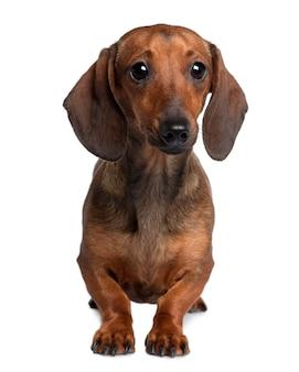 20ヶ月のダックスフント。分離された犬の肖像画