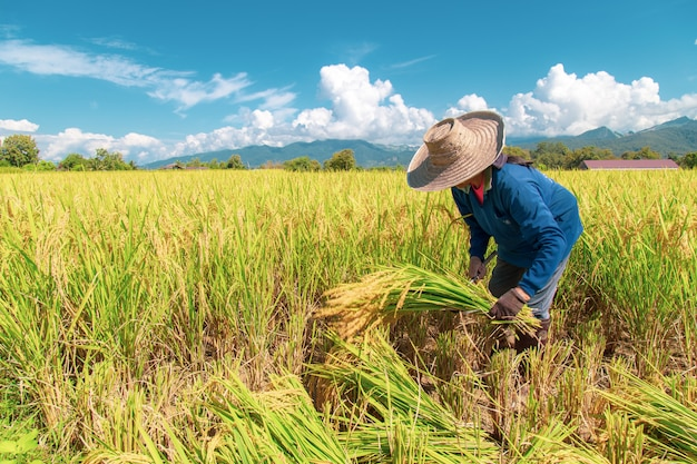 Фермеры собирают рис под жарким солнцем: нан, таиланд, 25 октября 2018 года
