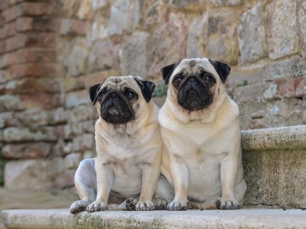 2匹のパグ犬の肖像画。