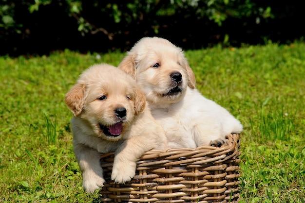2匹の若いゴールデンレトリーバー犬
