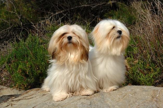 2匹のラサ・アプソ犬の肖像画