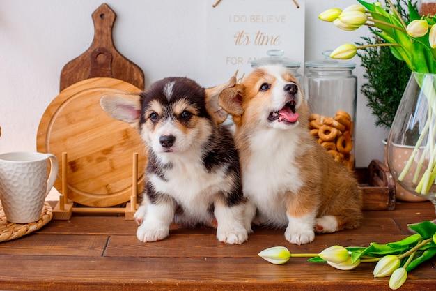 花瓶の近くのテーブルに座っている2人のウェールズコーギー子犬