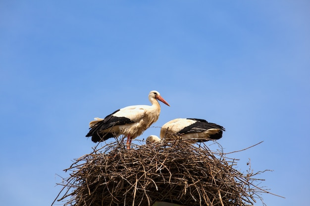 2つのコウノトリが巣に座っています