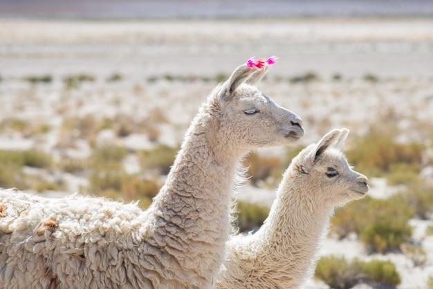 ボリビアのアンデス高地にある2つのラマ