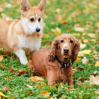 秋に屋外で戯れる2匹の美しい犬
