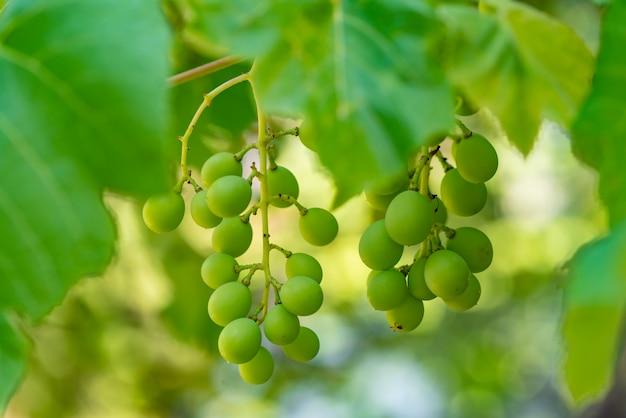 ブドウの房2つは、夏の庭の枝に熟します。閉じる