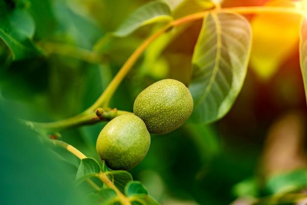 夏に木に熟す2つの緑のクルミ