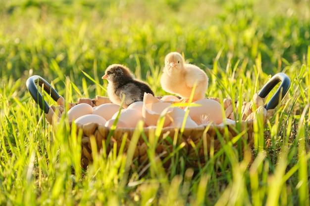 2つの小さな新生児鶏の卵のバスケット