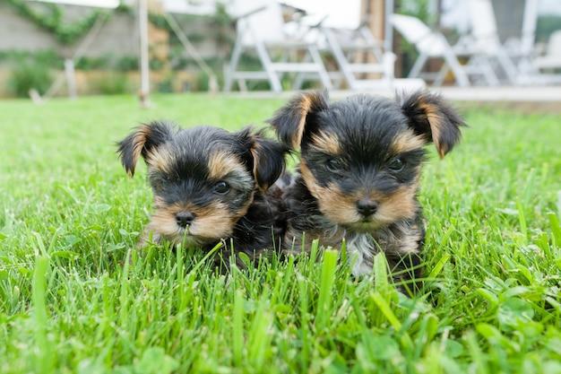 2つの小さなヨークシャーテリアの子犬