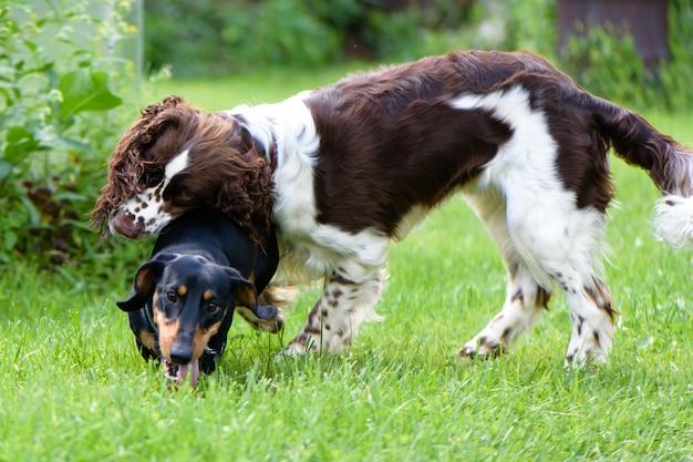 夏の自然で大まかな遊ぶ2つの若い犬