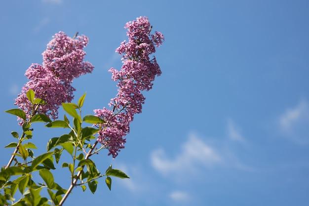 青い空を背景に、新鮮な花のライラックの2つの背の高い枝、コピースペース