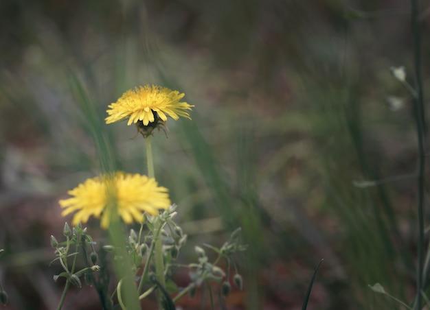 フィールドに2つの黄色の美しいタンポポ