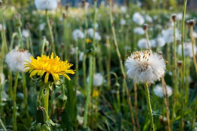 夏の草原。手前に白と黄色の2つのタンポポ。