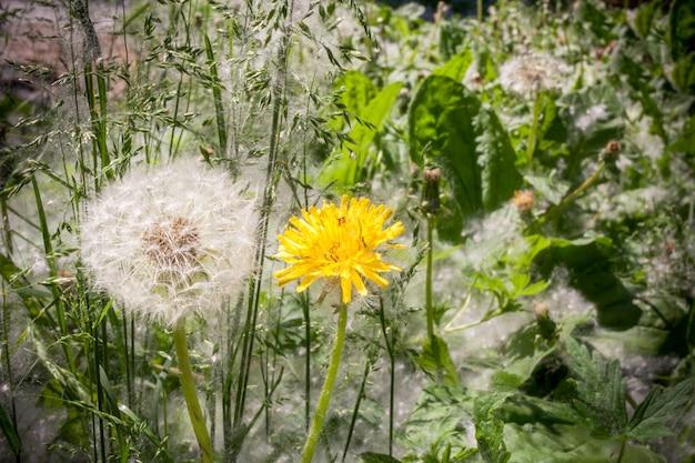 緑の草の中で白と黄色の2つのタンポポ。