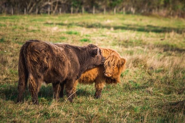 2つの茶色のスコットランドのハイランド牛