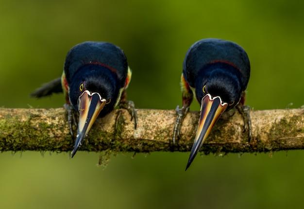 止まり木から見下ろす2つのオオハシ
